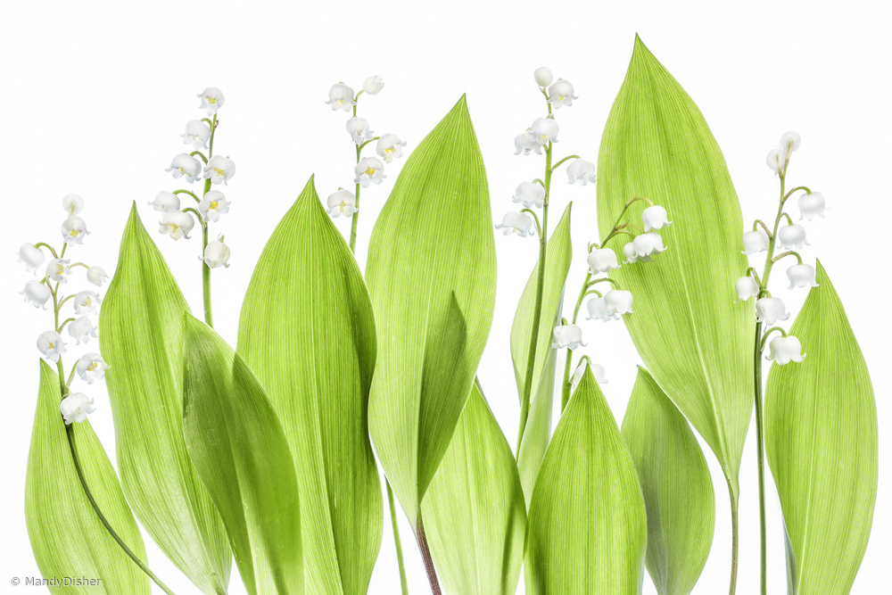 Fotokonst Lily of the valley
