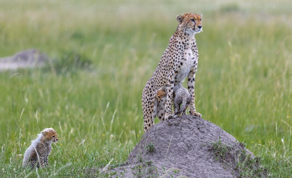 Fotokonst Cheetah and Cubs