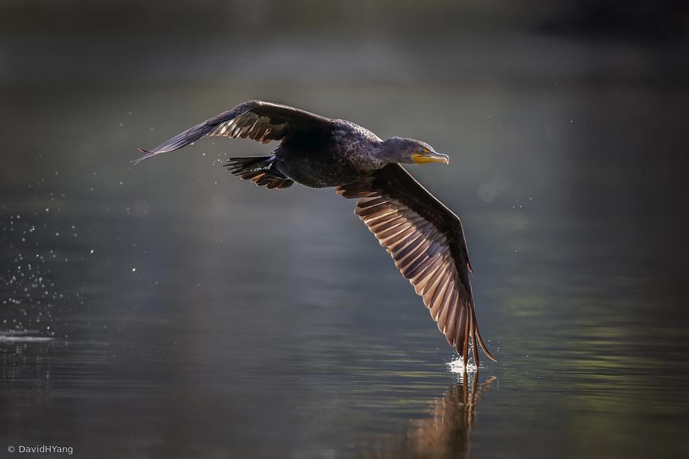 Fotokonst Double-crested Cormorant
