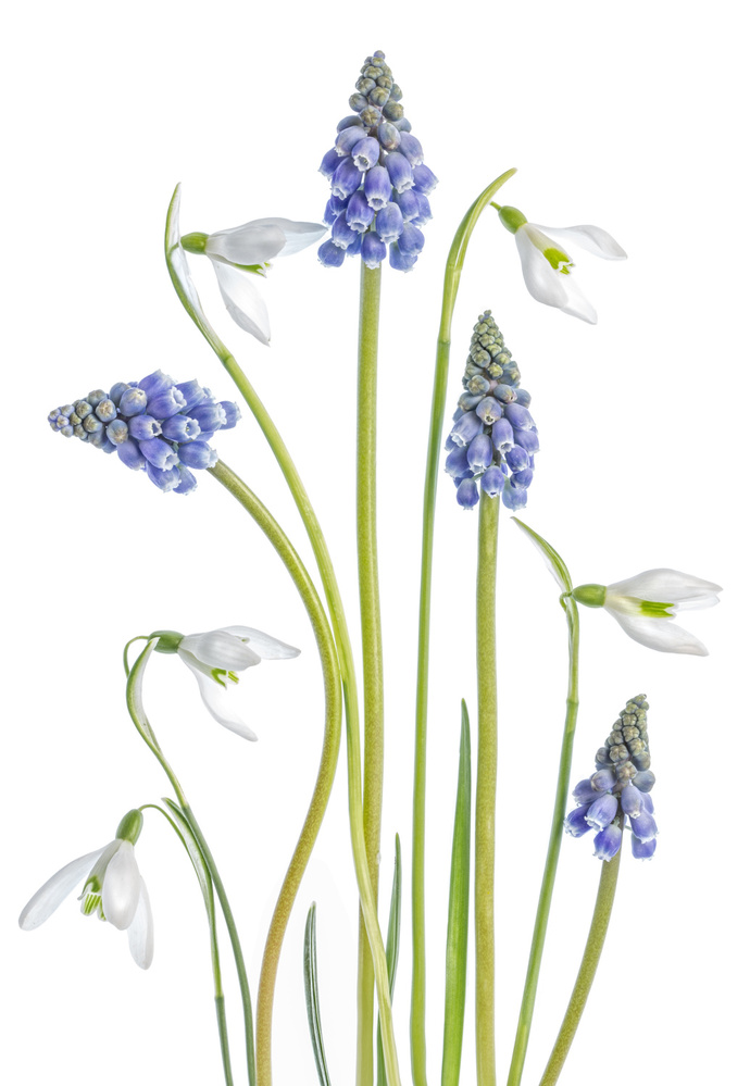 Poster Muscari and Galanthus
