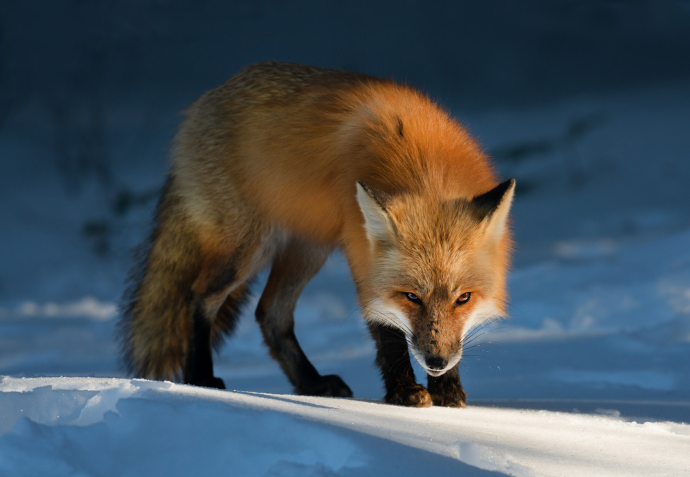 Inramad tavla Red Fox