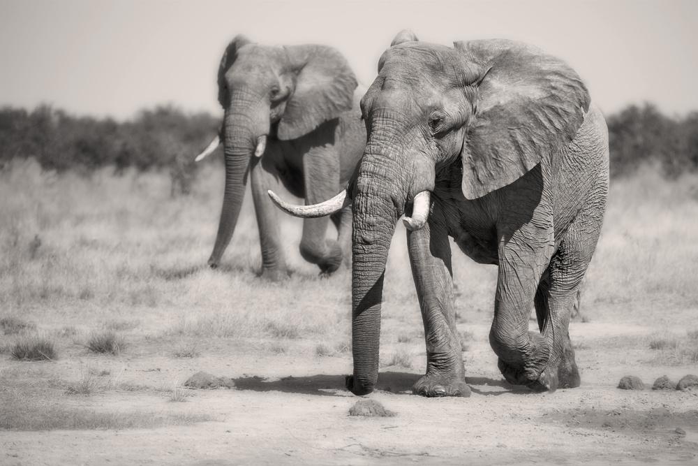 Fotokonst Twin Elephants