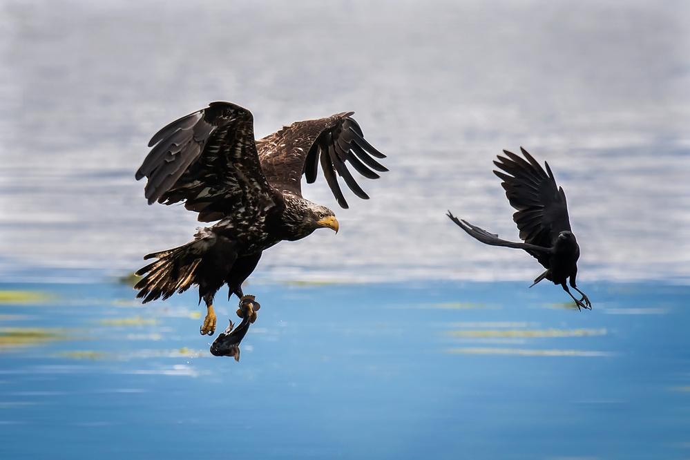 Fotokonst Crow Intercepting Bald Eagle