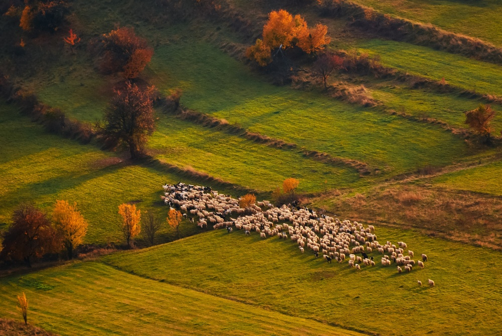 Poster Sheep herd at sunset