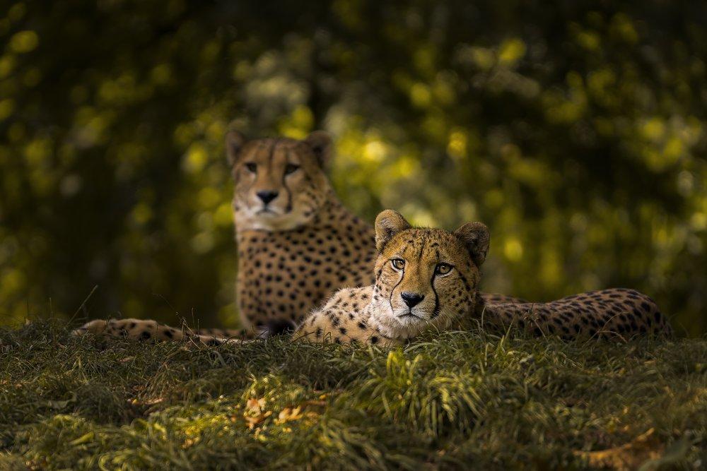 Fotokonst Cheetah Couple