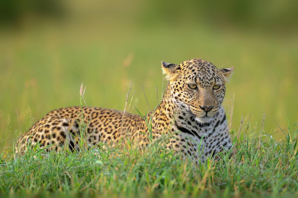 Fotokonst The Leopard
